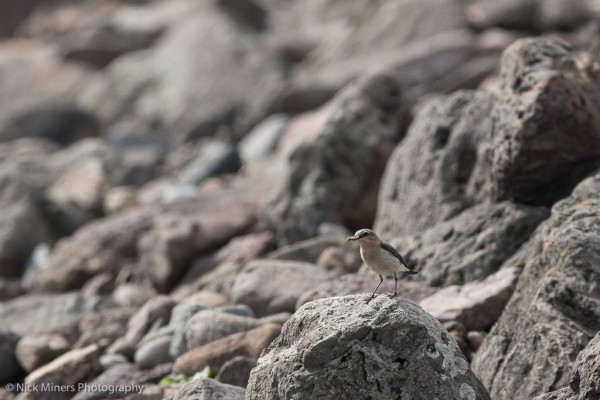 Wheatear at Stenness