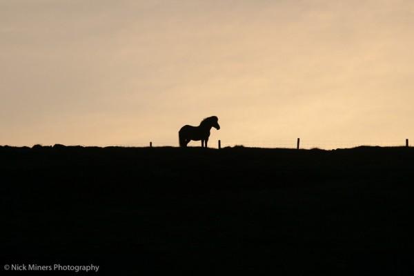 Iacs - an Icelandic Horse