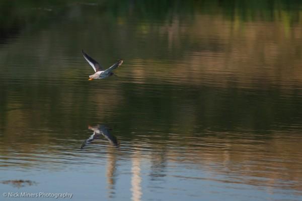 Redshank, Burrastow