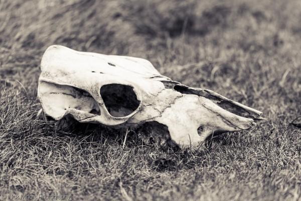 Skull at Ísafjörður fjord