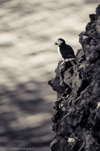 Puffin on the cliffs at Látrabjarg