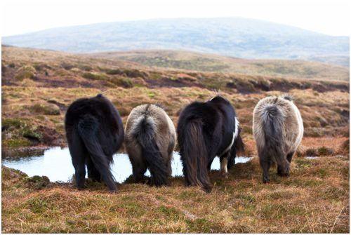 Shetlands ponies drinking
