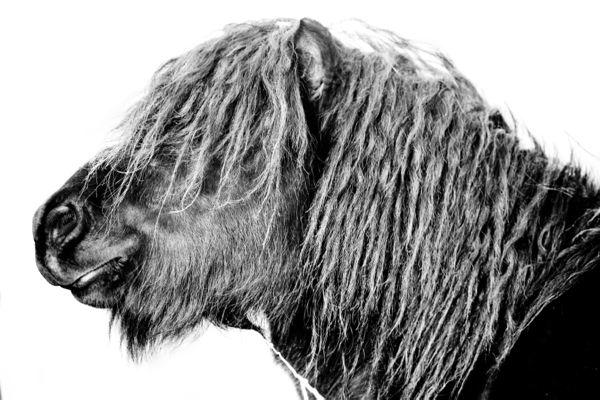 Hopeful Shetland pony colt