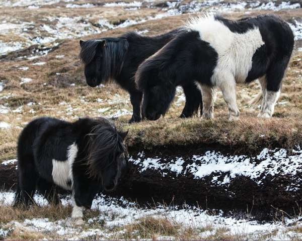 Shetland-ponies-in-the-snowey-hill2