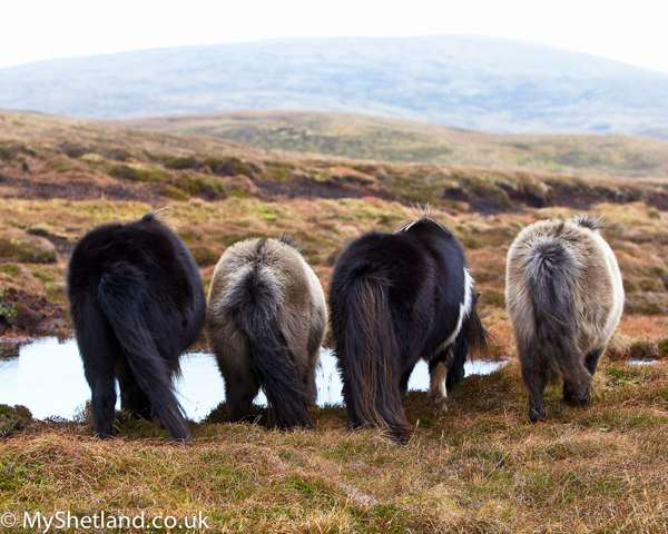 Shetlands-ponies-drinking-copy-2