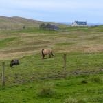 Shetland Foal Milk Service