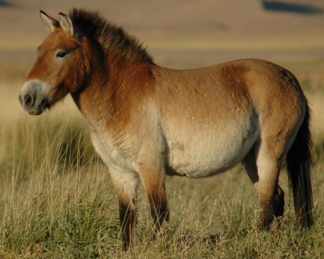 Przewalskis_horse_02
