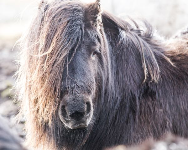 Beautiful Black Standard Shetland Ponies