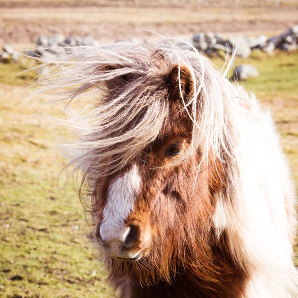 A Few More Shetland Ponies